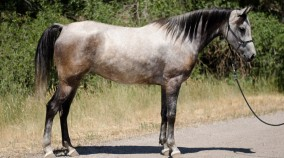 endurance horse for sale