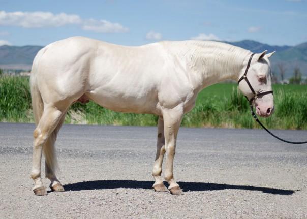 quarter horse stallion
