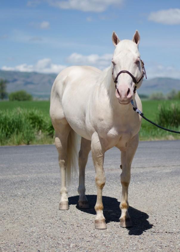 cremello stallion
