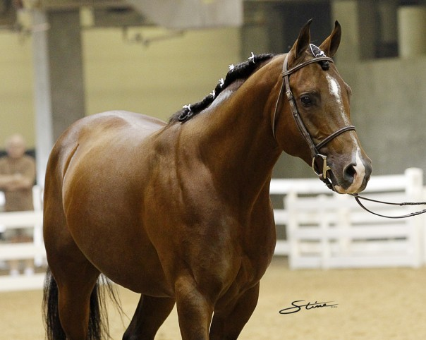 Arabian Reining Stallion