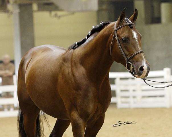 Arabian Reining Stallion