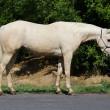 half arabian mare for sale