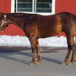 half arabian mare for sale in idaho